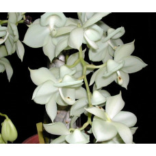 Catanoches Jumbo Chastity Jumbo Orchids