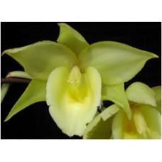 Catanoches Jumbo Explode Jumbo Orchids