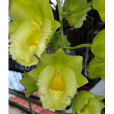 Clo. Wyches Bumble Bee Jumbo Orchids
