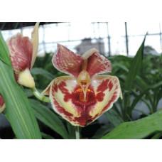 Ctsm. Bravo Jumbo Orchids
