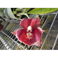 Ctsm. Orchidglade Fire Stone