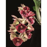Ctsm. Orchidglade Jack of Diamond 1,7