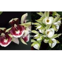 Ctsm. Pileatum (Redgreen x Aurantiacum)