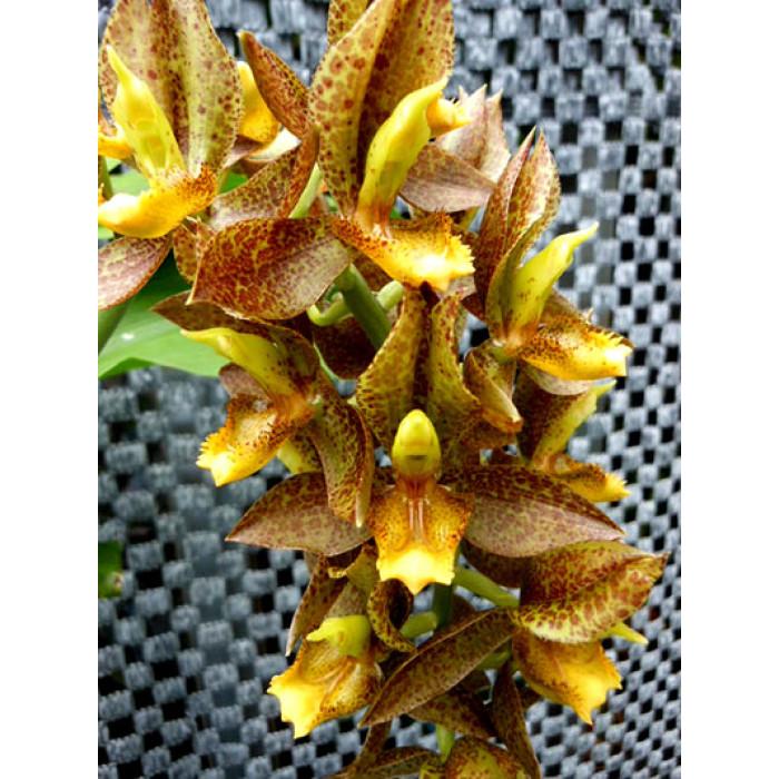 Катасетум (Rodigasianum x Atratum уценка)