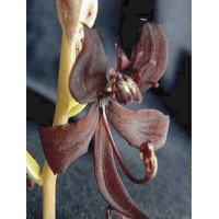 Cyc. Egertonianum Red