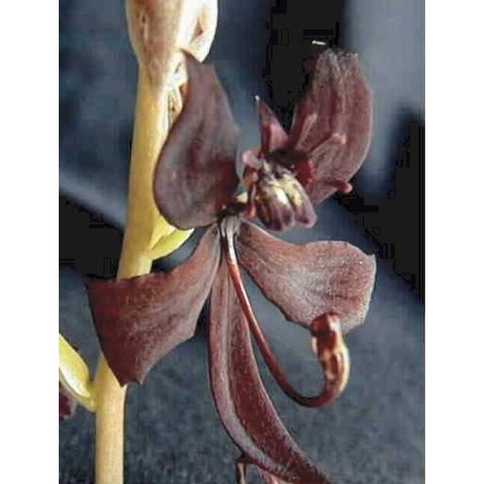 Катасетум (Egertonianum Red)