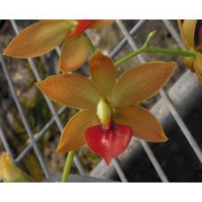 Cycd. Jumbo Micky Jumbo Orchids
