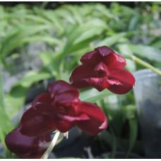 Mormodia Jumbo Crimson