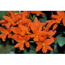Blc. Young-Min Orange