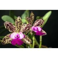 C. Green Emerald Orchid Queen уценка