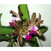 C. Green Emerald Orchid Queen 3,5