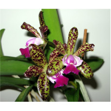 C. Green Emerald Orchid Queen