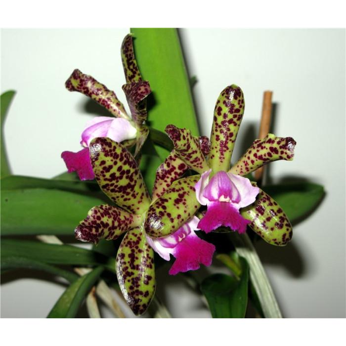 Каттлея (Green Emerald Orchid Queen 3,5)