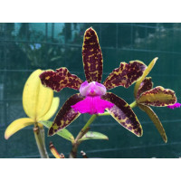 C. Hawaiian Variable x Netrasiri Beauty