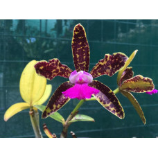 C. Hawaiian Variable x Netrasiri Beauty