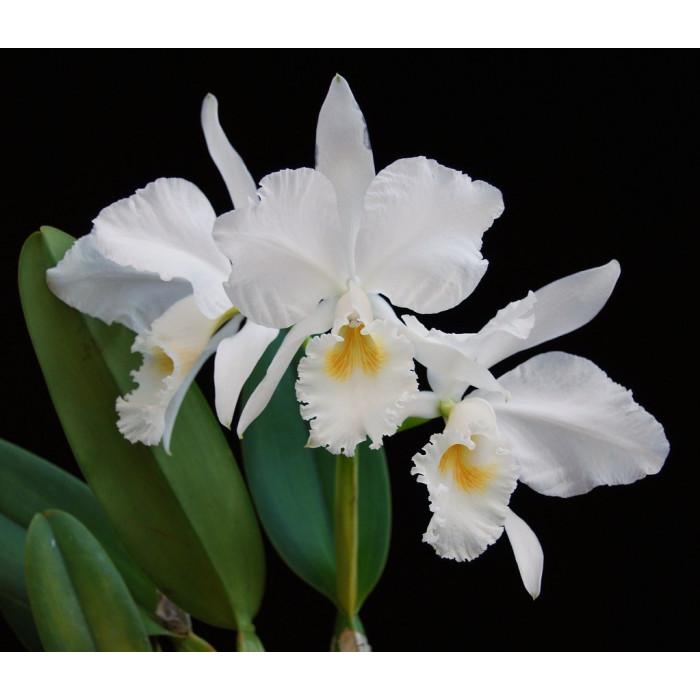 Каттлея (Gaskelliana Alba)