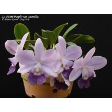 C. Mini Purple var. coerulea
