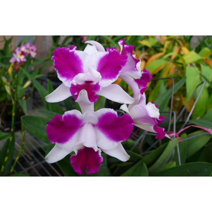 C. Purple Cascade Fragrance Beauty