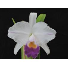 C. Trianae var. coerulea 1,7