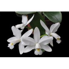 C. Violacea var. alba 1,7