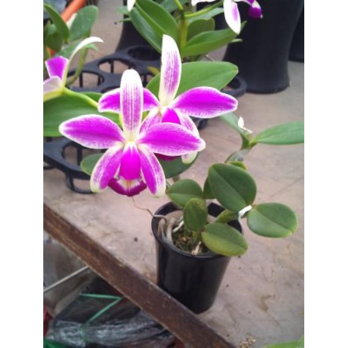 Каттлея (Violacea var)