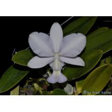 C. Walkeriana var. Coerulea Manhattan Blue