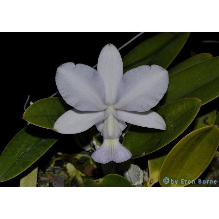 Каттлея (Walkeriana var)