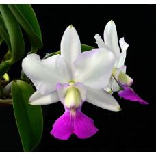 C. Walkeriana var. semi-alba