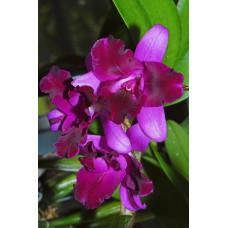 Ctt. Tristar Bouquet Ei-Chuan-Hong