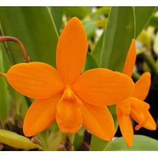 Ctyh. Orange Stardust Masumi