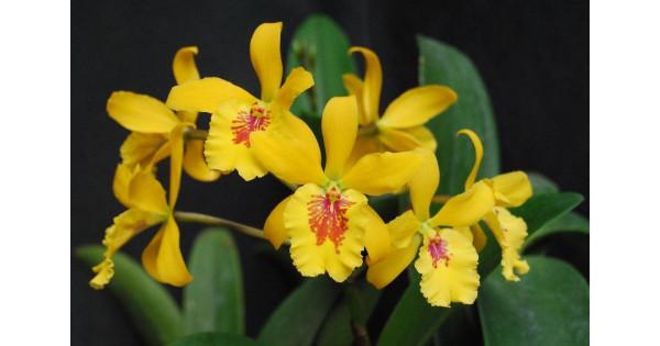 орхидеи голд раш фото построенное