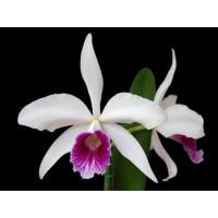 L. Purpurata x Purpurata Semi Alba