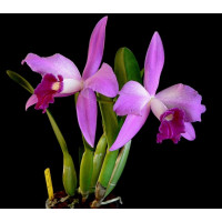 L. Purpurata x Sincorana