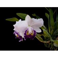 Lc. Hiroshima Melody Blue Gene