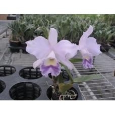 Lc. Mini Purple x Blc. Lois Mcneil Ace