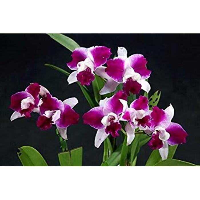 Lc. Purple Cascade Shang Beauty