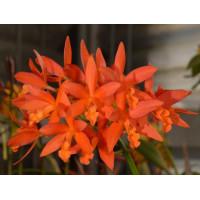 Lc. Trick or Treat Orange Beauty