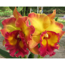 Rlc. Chomthong Fancy