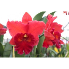 Rlc. Taiwan Chief Wine Van Gogh