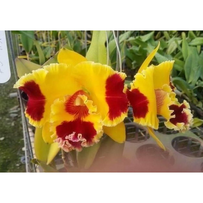 Rlc. Taiwan Yellow Cat