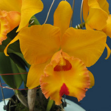 Rlc. Village Chief Headache Golden Baby