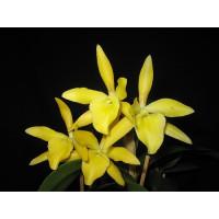 Ryn. Daffodil