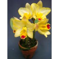 Sc. Beaufort × Lc. Orglades Glow Kewpie