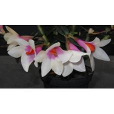 Den. (Cuthbertsonii x Sulawesiense) Pink x Cuthbertsonii 1,7