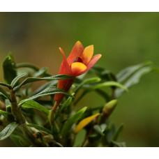 Den. (cuthbertsonii x sulawesiense) Orange x Cuthbertsonii 1,7