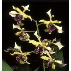 Den. Atroviolaceum Dark Lip