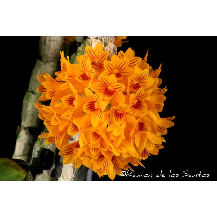 Дендробиум (Bullenianum)
