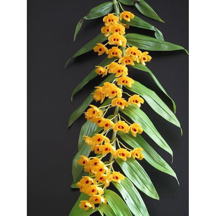 Дендробиум (Chrysanthum)