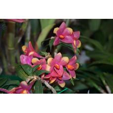 Den. Cuthbertsonii x Sulawesiense