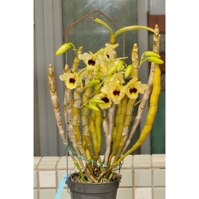 Дендробиум (Golden Blossom Kogane 3,5)